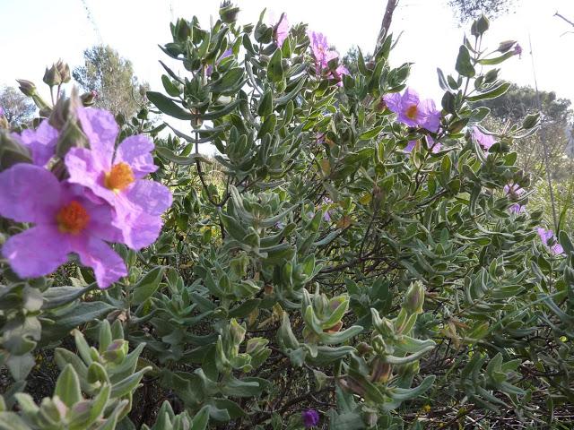 floretes-morades
